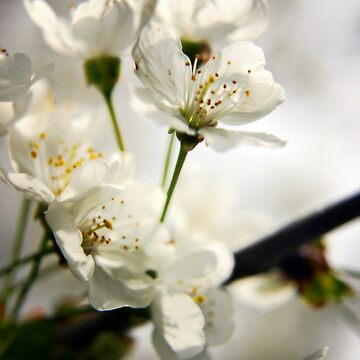 Cherry blossom by InspiraImage