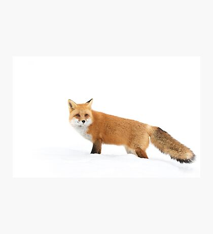 Red fox in snow - Algonquin Park Photographic Print