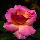 Rose in the rain by alan shapiro