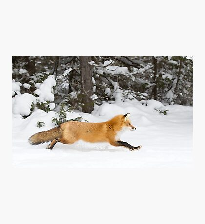 Red Fox on the run - Algonquin Park Photographic Print