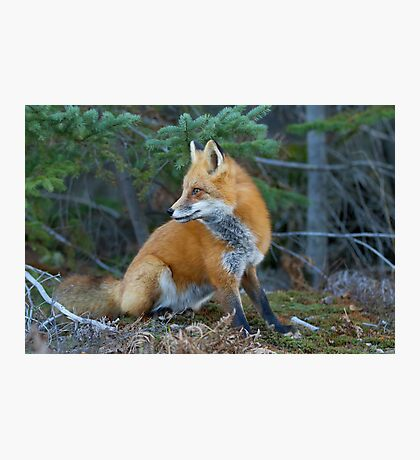 Red fox in Algonquin Park Photographic Print