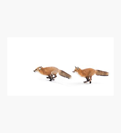 Running Foxes - Red Fox Photographic Print