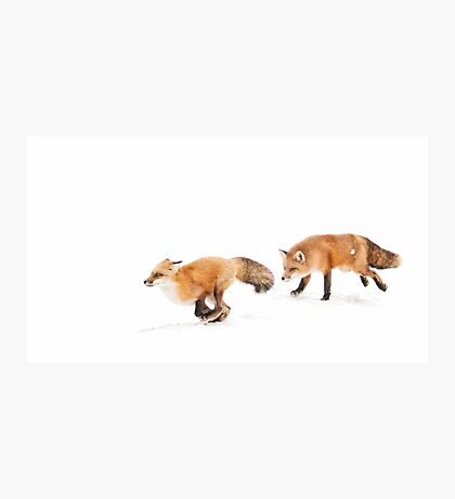 Chasing Foxes - Red Fox Photographic Print