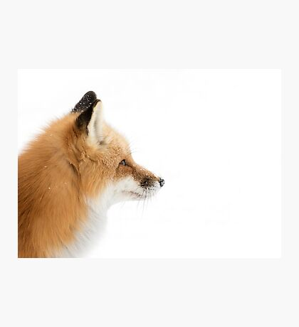 Red Fox profile - Algonquin Park Photographic Print
