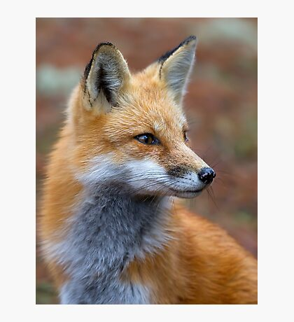 Red Fox profile - Algonquin Park, Canada Photographic Print