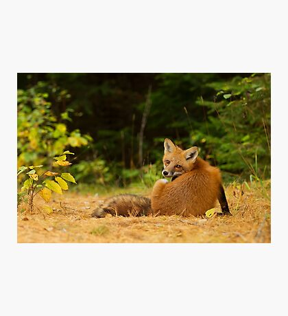 Red Fox look back - Algonquin Park Photographic Print