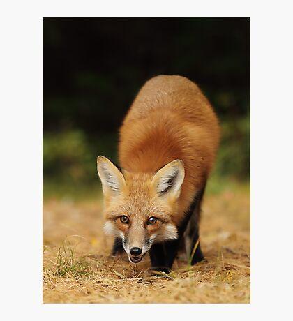 Playfull Red Fox, Algonquin Park Photographic Print
