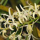 Sydney Rock Orchid by Andrew Trevor-Jones