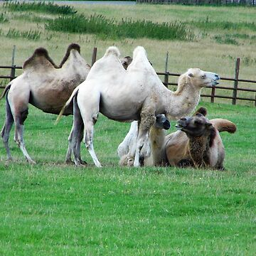 camels by brucemlong