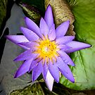 Lily Pad by justminting