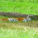 Tiger by brucemlong