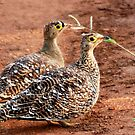 DOUBLE-BANDID SANDGROUSE by Magriet Meintjes
