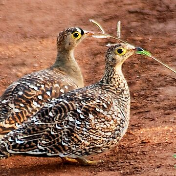 DOUBLE-BANDID SANDGROUSE by mags