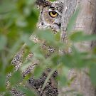 Great Horned Owl peaking out by Eivor Kuchta