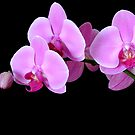 Orchid Phalaenopsis by Simon Hackney