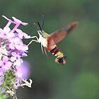 One Hawk Hummingbird Moth by Kathleen Brant
