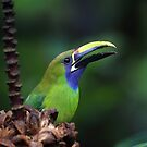 Toucanet by mlorenz