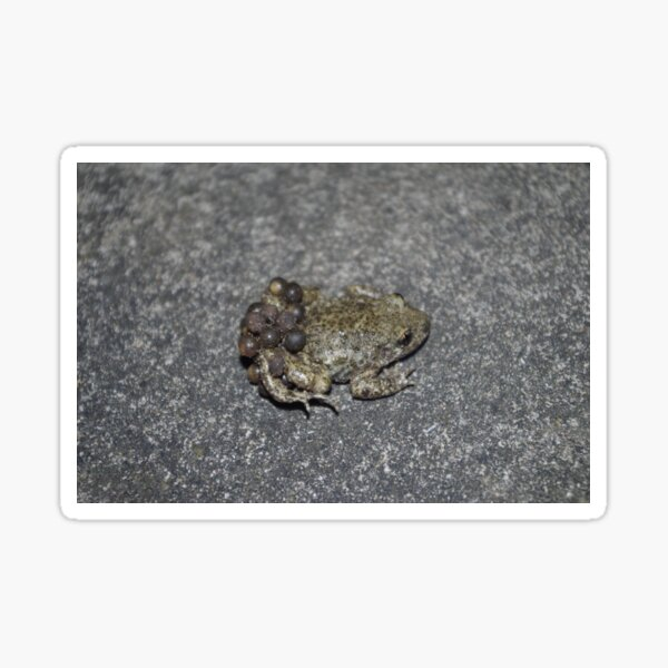 Midwife Toad Sticker