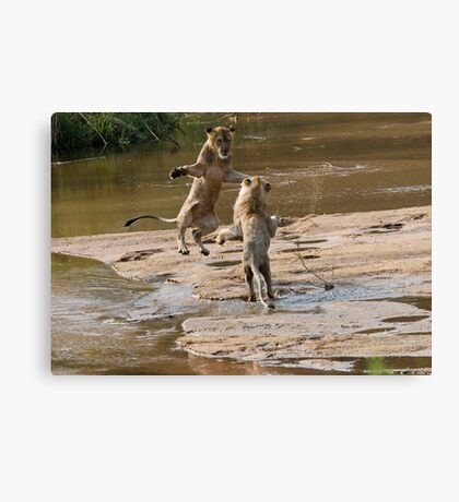 Lions Playing In Water Canvas Print
