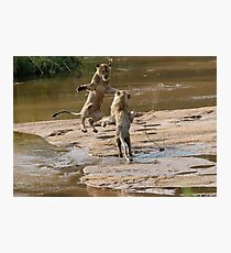 Lions Playing In Water Photographic Print