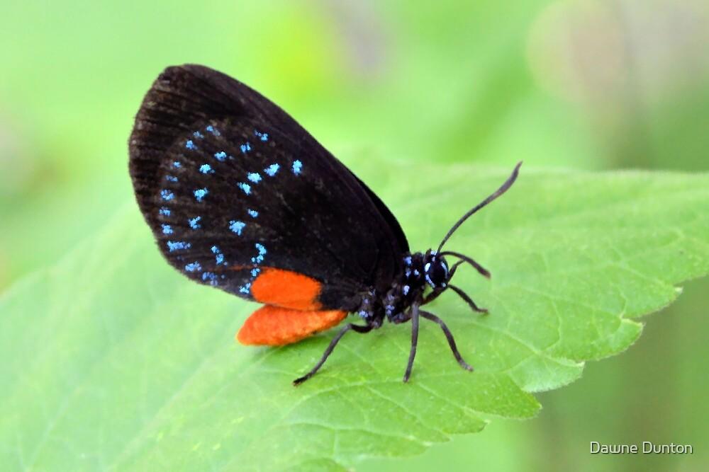 Florida Atala Butterfly by Dawne Dunton