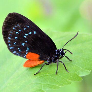 Florida Atala Butterfly by DAWNESROMEO