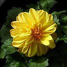 Golden Dahlia by Kathryn Jones