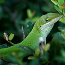 Anole by Colleen Drew