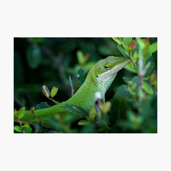 Anole Photographic Print
