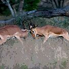 Impala Rutting  by Michael  Moss