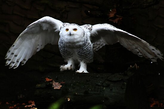 Snowy Owl With Open Wings by Alan Harman