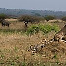 Cheetah Family And Rhinos by Michael  Moss