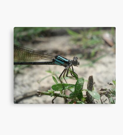 Pitts Spring (Florida) Damsel Metal Print