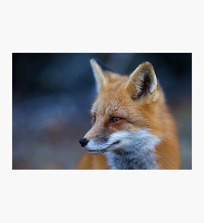 Red Fox - Algonquin Park, Canada  Photographic Print