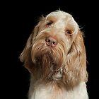 Orange und weißer italienischer Spinone-Hundekopf geschossen von heidiannemorris