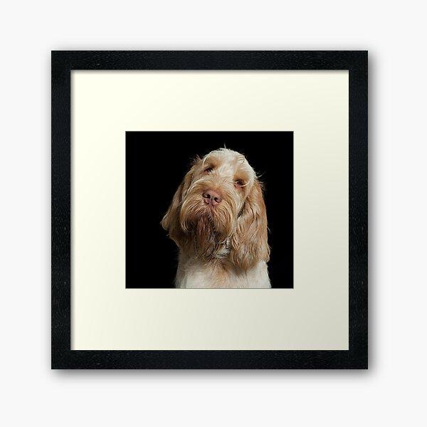 Head tilt Spinone Framed Art Print