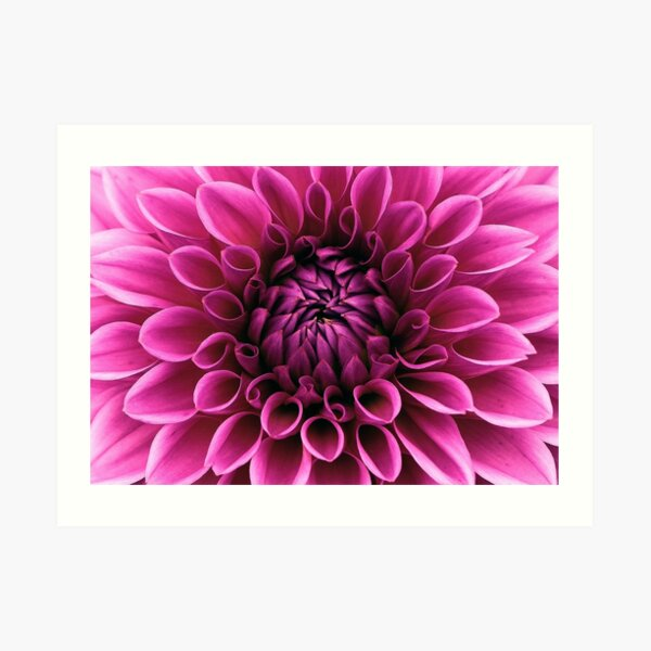 Dahlia bloom flower Art Print