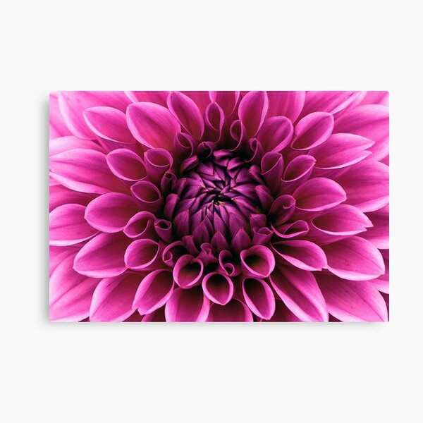 Dahlia bloom flower Canvas Print