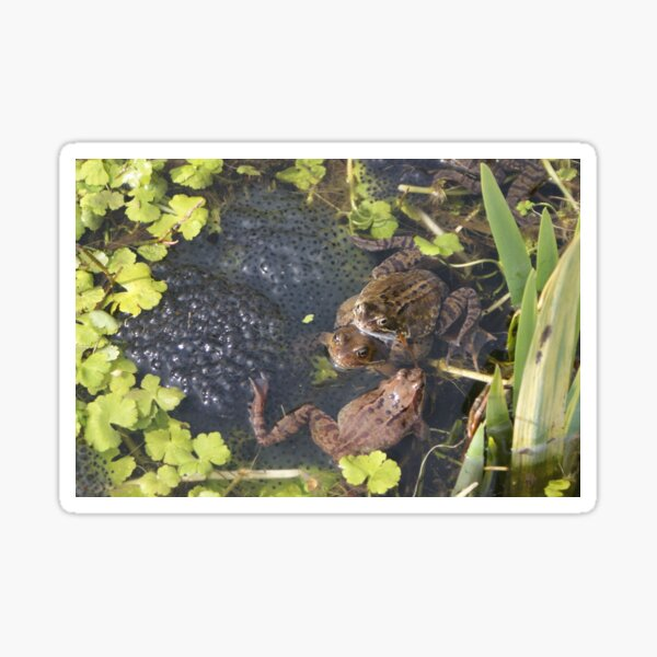 Common Frogs spawning Sticker
