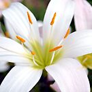 The Madonna Lily by Dawne Dunton