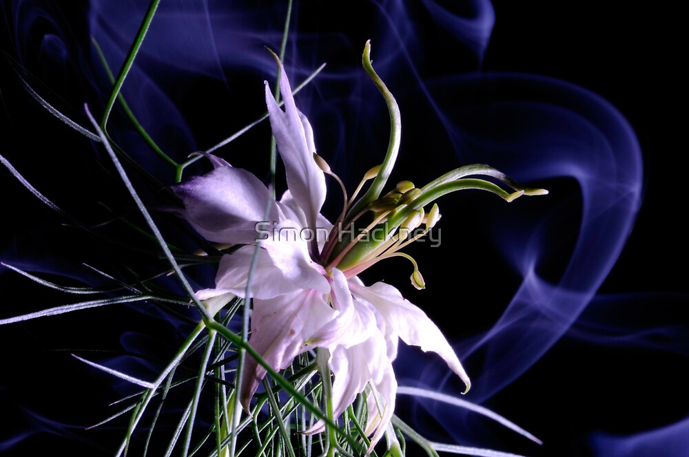 love in a mist (nigella damascena) by Simon Hackney
