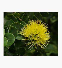 Lámina fotográfica Yellow Ohia with bee.