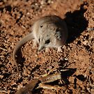 Fat Tailed Dunnart & Breakfast by outsider
