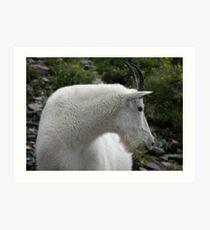 Mountain Goat - Glacier National Park Art Print