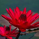 Water Lilies by kittyrodehorst