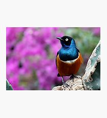 African Superb Starling Perched Before Pink Photographic Print