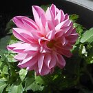 Newly Planted Pink Dahlia by EasterDaffodil