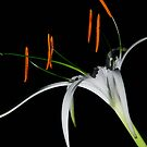 White_Spider_Lily by Chip  Ford