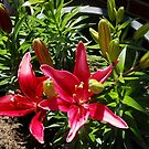 Sunlit Red Lilies and Buds by EasterDaffodil