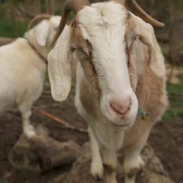 More smirking goats by Ajmdc